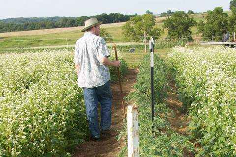 Michael Bomford walks between a row of heritage tomatoes and a blooming buckwheat cover crop.