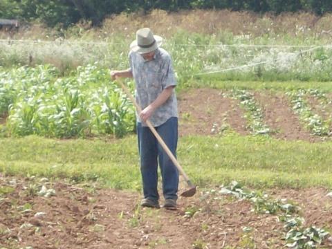 Michael Bomford hoes weeds between sweet potatoes.